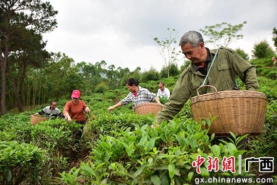"""广西上思:凤凰山下的""""绿茶梦"""""""