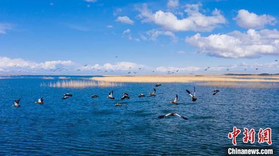 博斯腾湖湖面上,水鸟嬉戏觅食。 年磊 摄