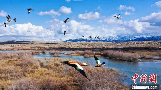 """新疆博斯腾湖成鸟类""""天然乐园"""""""