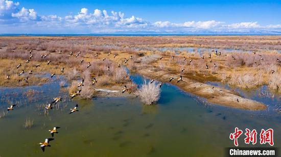 一群赤麻鸭在博斯腾湖南岸戏水觅食。 年磊 摄