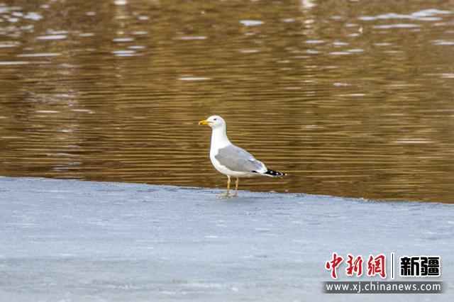 新疆察布查尔县湿地海鸥翱翔