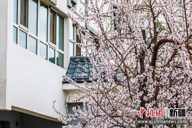 察布查尔县:千树万树桃花开 朵朵绽放等你来