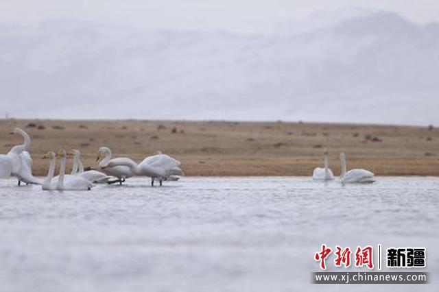 新疆巴州:上万只野生天鹅返回我国最大野生天鹅保护区