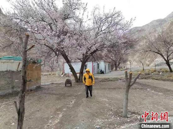 自3月21日至4月6日,全国各地前来帕米尔高原观赏杏花的游客数量呈爆发式增长。 朱景朝 摄