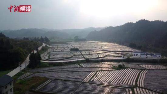 仲春时节 贵州黎平万亩香芋种植忙