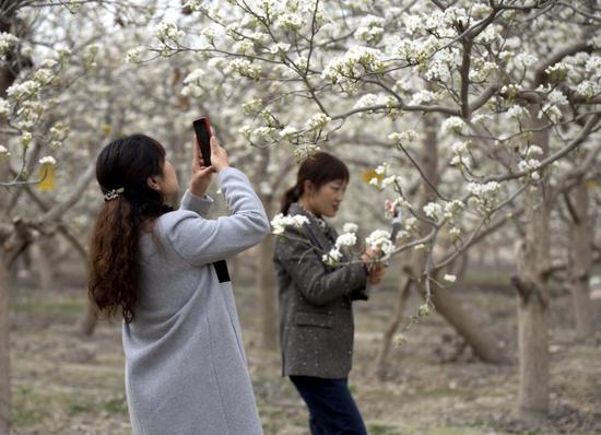 第一师十六团万亩梨园梨花盛开