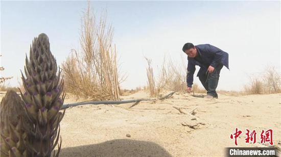 以生态产业养生态工程 新疆且末6.5万亩肉苁蓉喜获丰收