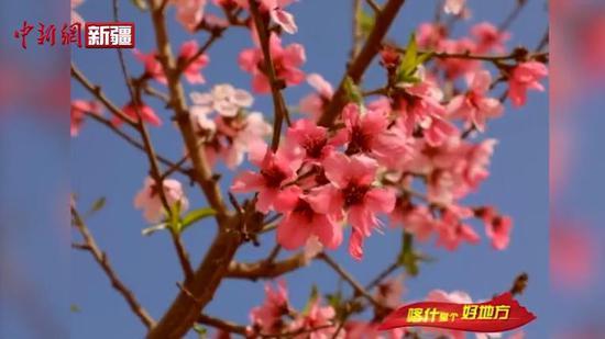 喀什市阿瓦提乡桃花竞相绽放