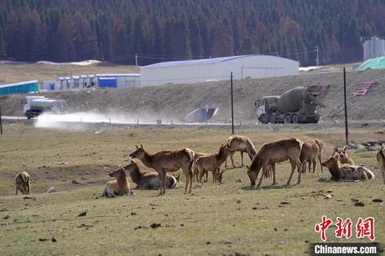 新疆道路施工与野生马鹿和谐相处