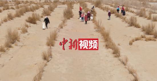 新疆且末6.5万亩肉苁蓉喜获丰收