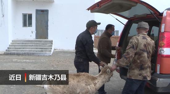 国家二级野生动物盘羊受伤 管护员救助