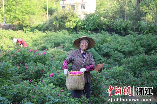 农民采摘玫瑰 何伟卫 摄