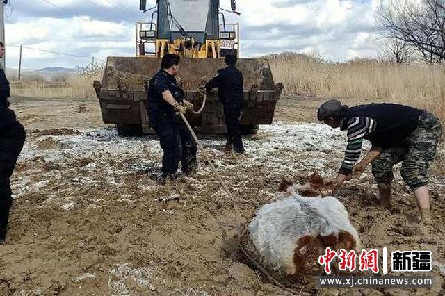 阿勒泰市一群众黄牛被陷泥潭 民警4小时助力帮其脱困