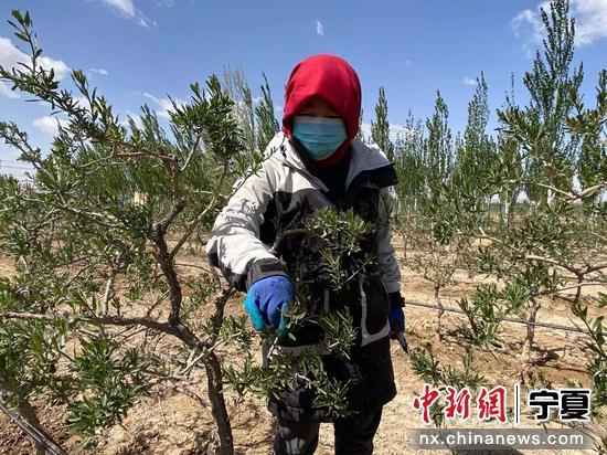 村民在枸杞地里采摘枸杞芽。楊迪 攝