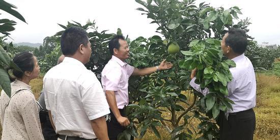 广西北流将大力推广泰国青柚种植
