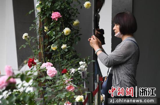 一位游客在拍攝月季花。王剛 攝