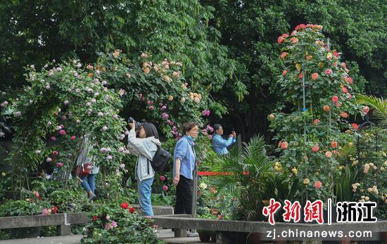 多位游人在月季花架之間觀賞、拍照。王剛 攝