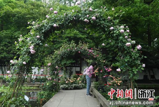 一位游客在月季花架下拍照。王剛 攝