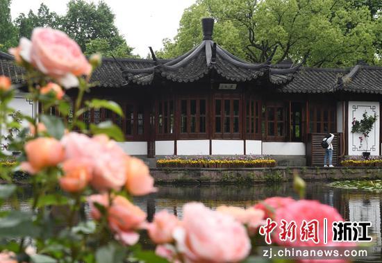 西湖亭臺前月季盛放。王剛 攝