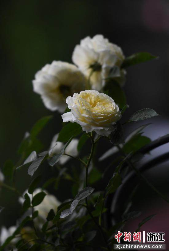 盛開的月季花。 王剛 攝