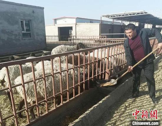艾尼·吐孙在开尔旺养殖专业合作社内喂羊。(资料图) 吉秋霞 摄