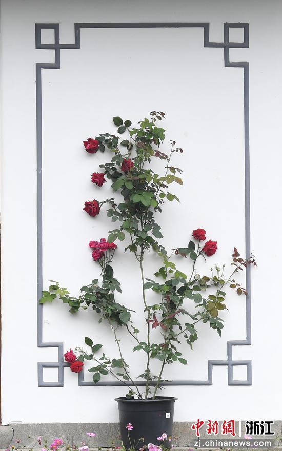 盛開的月季花與江南建筑相稱相映。王剛 攝