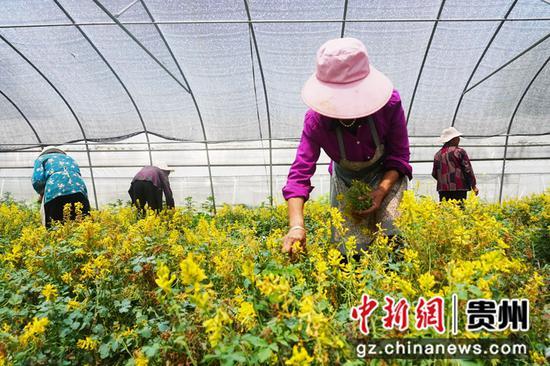 村民采摘岩黄连种子。闵建华  摄