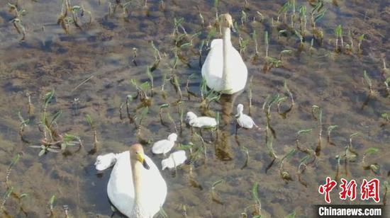 新疆巴音布鲁克草原上万只天鹅进入孵化季