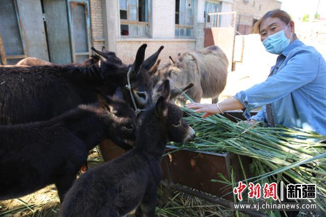 察布查尔县:群众养毛驴过上幸福生活