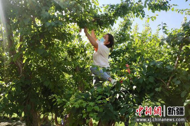 6月6日,村民在杏園中手工采摘鮮杏。