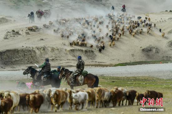 """新疆阿勒泰百萬牲畜""""大遷徙"""""""