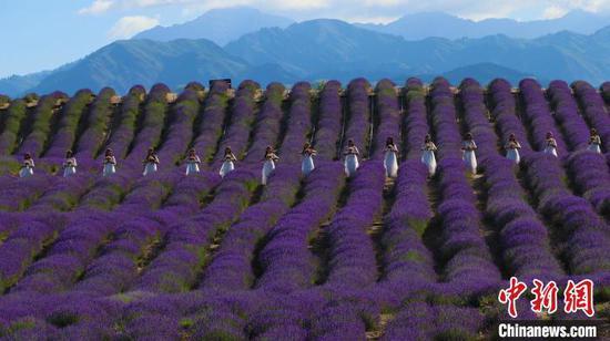新疆霍城5萬畝薰衣草進入盛花期
