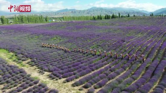 紫色海洋 新疆萬畝薰衣草進入盛花期