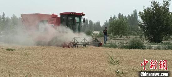 新疆和田市10萬畝小麥開鐮收割 王曉峰 攝