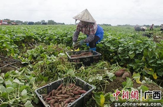 广西钦州市钦南区:小红薯撬动大产业