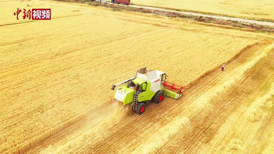 新疆昌吉:冬小麥成熟 機械化收割顆粒歸倉