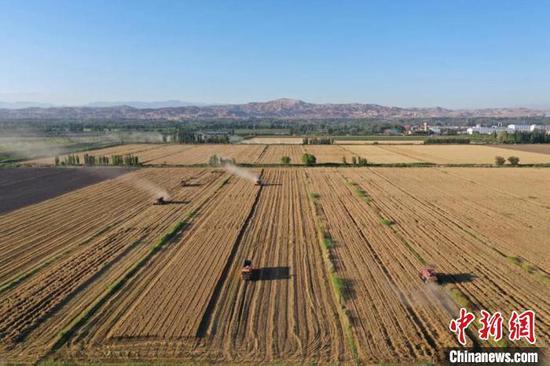 收割機穿梭收割小麥,呈現一派豐收的喜人景象?!羁J 攝
