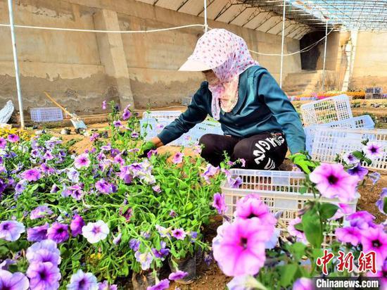 图为柯鲁柯镇金原村村民王新花正在大棚修剪花枝。 祁增蓓 摄