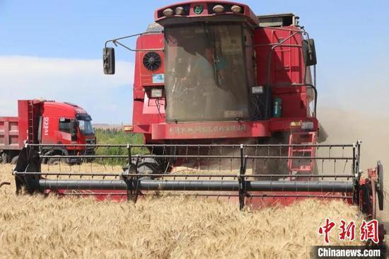 在六十六團麥田里,大型聯合收割機來回穿梭,收割小麥?!±顜r 攝