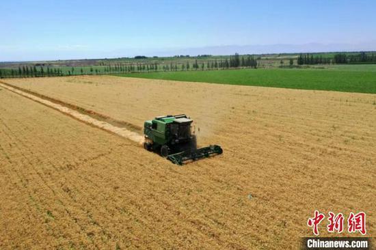 在新疆兵團第五師八十四團條田里,收割機正在收割冬小麥?!『さ?攝