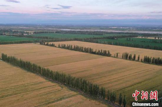 今年,新疆兵團第四師可克達拉市共種植冬小麥23.35萬畝?!羁J 攝