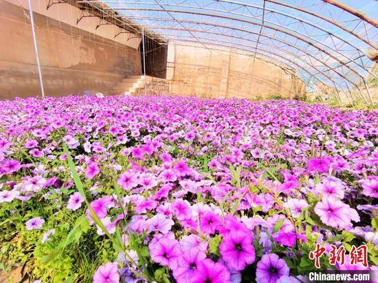 图为柯鲁柯镇金原村花卉大棚内盛开的鲜花。 祁增蓓 摄