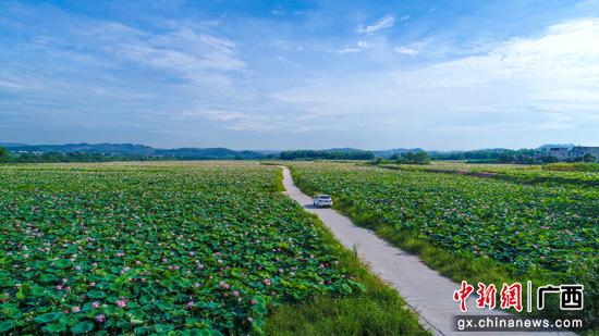 广西宁明:1500多亩荷花绽放吸引游客