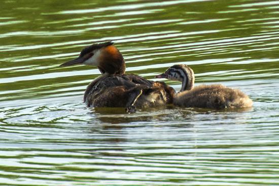 凤头䴙䴘宝宝跟着妈妈学游泳。 闵勇 摄