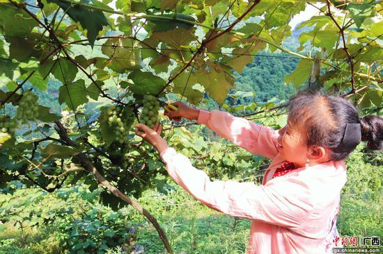葡萄采摘。趙海鳳 攝