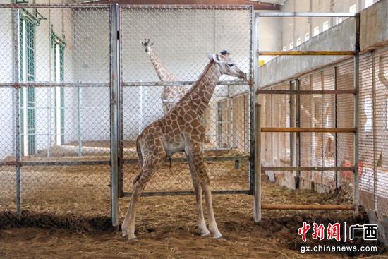 贵港市新添第一只长颈鹿幼崽:刚出生就有两米高