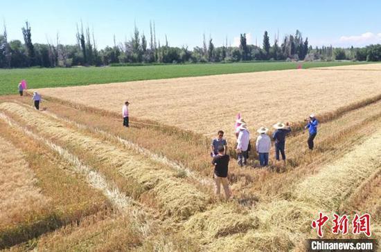 新疆察布查尔县小麦机械化收割 丰收在望