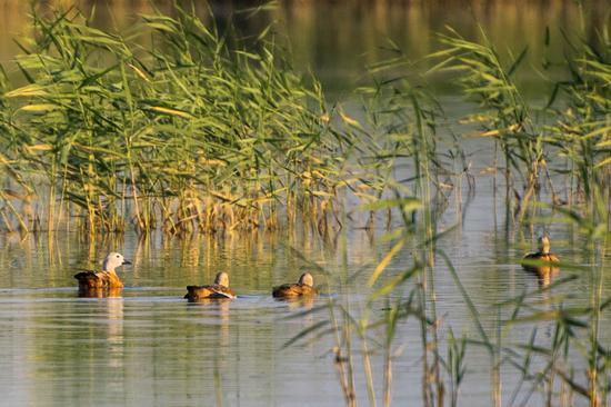 赤麻鸭妈妈带着3只小鸭宝宝向芦苇荡深处游去。 闵勇 摄