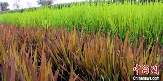 试验田里,一片紫色水稻秧苗在常规绿色水稻的衬托下,格外惊艳别致。 陈晓晨 摄