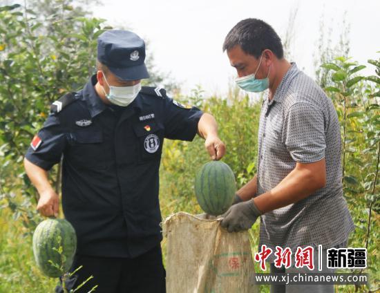 图为马金龙帮助群众采摘西瓜。